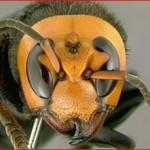 最強のスズメバチの生態と天敵とは?巣が売れる?万一刺されたらどうする?