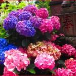 あじさい祭りの時期はいつ?東京で行われるあじさい祭りのどこで見るのがよい?